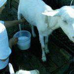 Влияние козьего молока на организм