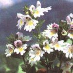 Трава очанка от слез